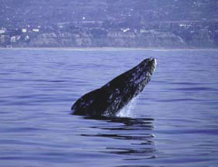 Whale watching reservations for Fish count dana point