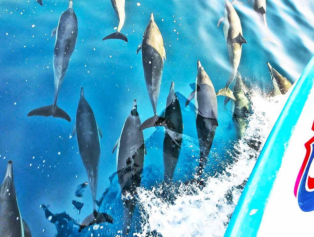 Dolphin Visit Newport Beach