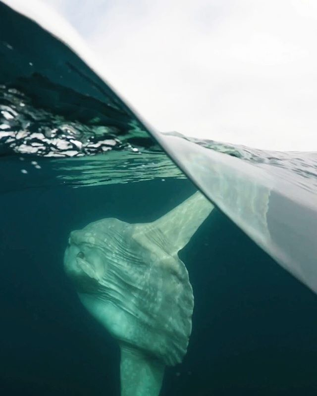 Ocean sunfish! The ocean sunfish or mola mola is one of the heaviest bony fishes in the world! Adults can weigh up to 2,000 pounds or more! Sunfish eat sea jellies, fish larvae, and squid. Female sunfish produce more eggs than any other known animal in the world. Up to 300 million at a time! We sometimes see sunfish from our tours when they come to the surface to warm their bodies or lay flat so birds and other animals can clean them of parasites. Have you seen a sunfish?? Video from passenger, Mike B, aboard the ultimate adventure! Bring your GoPro and see what you discover!*********#discoverocean #mola #fathomlesslife #newportbeach #oceanlife #roamtheplanet #ocean #oceanphotography #sunfish #createcommune #earthpix #wildlife #fish #gopro