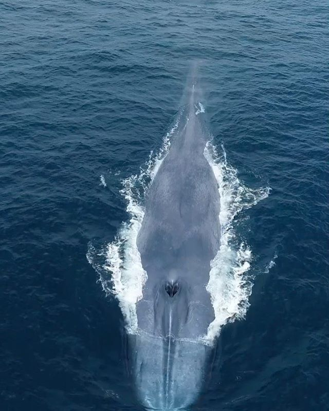 Going down! When blue whales dive they accelerate forward during their last breath. They then tip their nose down and passively glide downward. Blue whales will remain on a dive anywhere from 10 to 20 minutes as they hunt for patches of krill.